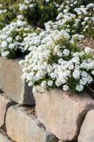 Garten-Schleifenblume Zwergschneeflocke • Iberis sempervirens Zwergschneeflocke