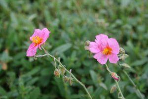 Garten-Sonnenröschen Lawrensons Pink • Helianthemum x cult. Lawrensons Pink