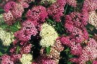 Zwergspiere Shirobana • Spiraea japonica Shirobana