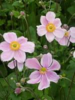 Garten Herbst Anemone Charlotte • Anemone japonica Königin Charlotte