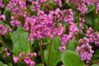 Garten Bergenie Eroica • Bergenia cordifolia Eroica