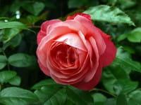 Rose Rosanna ® • Rosa Rosanna ®