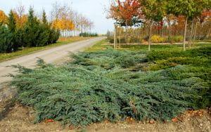 Blauer Kriech-Wacholder • Juniperus squamata Blue Carpet