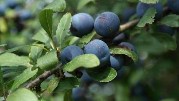 Schlehe • Prunus spinosa
