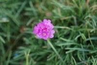Garten Grasnelke • Armeria maritima Rosea Compacta