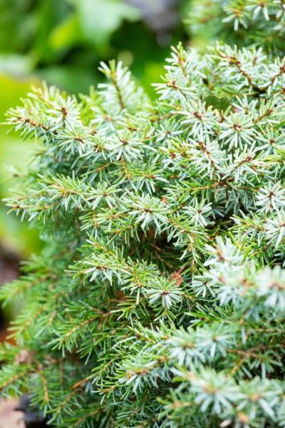Kleine Serbische Fichte • Picea omorika Nana
