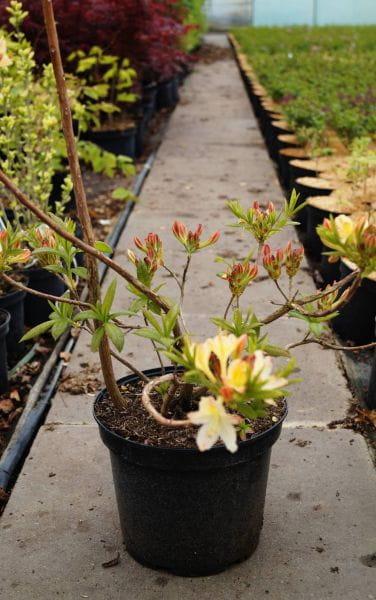 Sommergrüne Azalee Daviesii • Rhododendron obtusum Daviesii