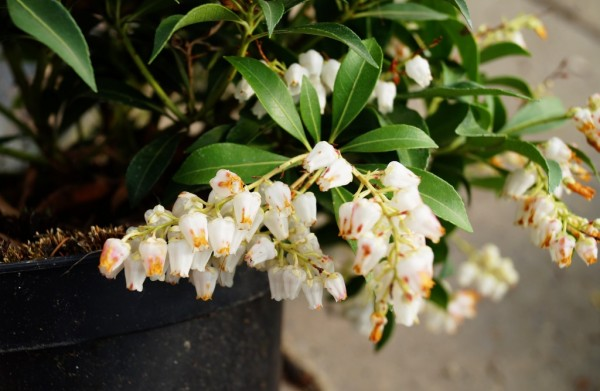 Schattenglöckchen Purity • Pieris japonica Purity