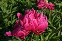 Pfingstrose Karl Rosenfield • Paeonia lactiflora Karl Rosenfield