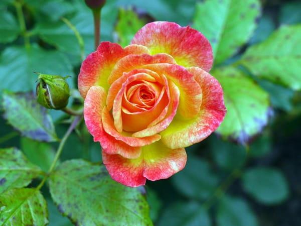 Rose Gartenspaß • Rosa Gartenspaß