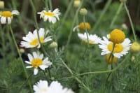 Garten Färber Hundskamille Hollandaise • Anthemis tinctoria Sauce Hollandaise