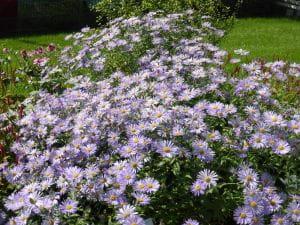 Frikarts Garten Aster • Aster x frikartii Wunder von Stäfa