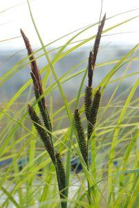 Schlanke Segge • Carex acuta