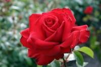 Rose Jugendliebe • Rosa Jugendliebe