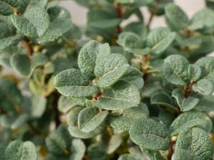 Zwergweide • Salix boydii
