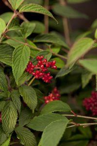 Japanischer Schneeball • Viburnum plicatum Pink Beauty