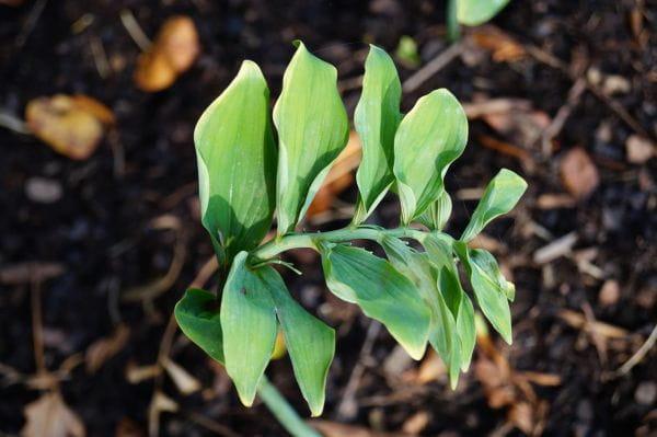 Hohes Salomonsiegel Weihenstephan • Polygonatum x hybridum Weihenstephan