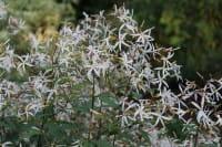 Dreiblattspiere trifoliata • Gillenia trifoliata