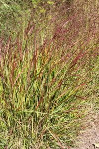 Garten-Ruten-Hirse • Panicum virgatum Rehbraun