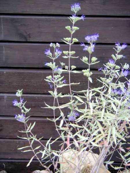 Bartblume Kew Blue • Caryopteris clandonensis Kew Blue