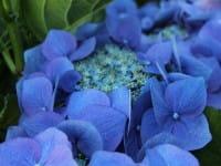 Bauernhortensie Blaumeise • Hydrangea macrophylla Blaumeise