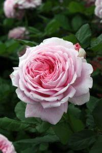 Parfuma Duftrose Rosengräfin Marie Henriette • Rosa Rosengräfin Marie Henriette