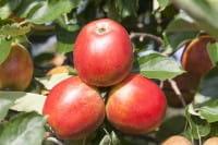 Apfel Roter Holsteiner Cox • Malus Roter Holsteiner Cox
