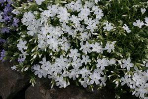 Garten-Teppich-Flammenblume White Delight • Phlox subulata White Delight