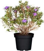 Kleinblättriger Rhododendron Azurika • Rhododendron Impeditum Azurika