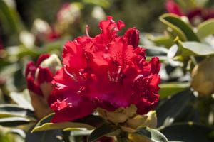 Rhododendron Hybride Wilgens Ruby • Rhododendron Hybride Wilgens Ruby