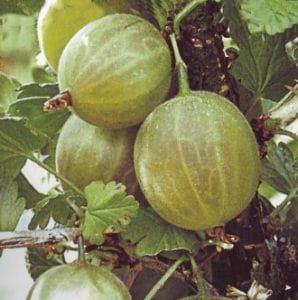 Stachelbeere Karlin • Ribes uva-crispa Karlin