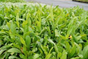 Großblumige Margerite 'Alaska' - Leucanthemum x superbum 'Alaska'