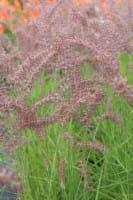 Federborstengras Karley Rose • Pennisetum orientale Karley Rose