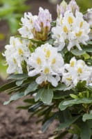 Rhododendron Madame Masson • Rhododendron Hybride Madame Masson