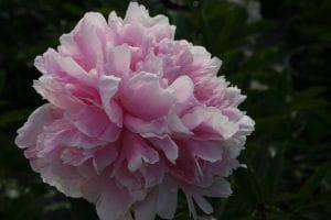 Pfingstrose Sarah Bernhardt • Paeonia lactiflora Sarah Bernhardt