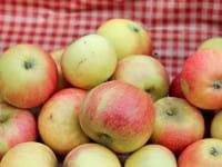 Apfelbaum Alkmene • Malus Alkmene