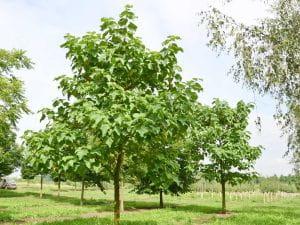 Blauglockenbaum • Paulownia tomentosa