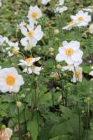 Garten-Herbst-Anemone Honorine Jobert • Anemone japonica Honorine Jobert