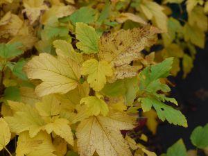 Blasenspiere Angel Gold • Physocarpus opulifolius Angel Gold