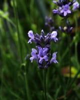 Lavendel Dwarf Blue • Lavandula angustifolia Dwarf Blue