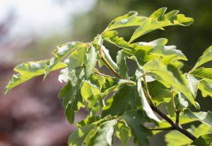 Zimtahorn • Acer griseum