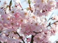 Japanische Blütenkirsche • Prunus serrulata Kanzan