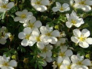 Fingerstrauch Tilford Cream • Potentilla fruticosa Tilford Cream
