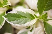 Buntlaubige Bauernhortensie Tricolor • Hydrangea macrophylla Tricolor