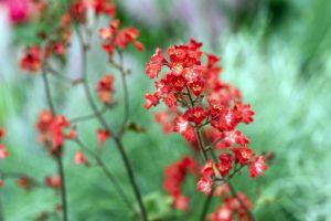 Garten-Purpurglöckchen • Heuchera sanguinea Ruby Bells