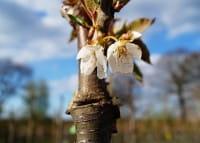Süßkirsche Große Prinzessinkirsche • Prunus avium Große Prinzessinkirsche