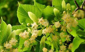 Großblättr. Sommerlinde • Tilia platyphyllos