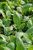 Garten-Nachtviole • Hesperis matronalis Alba