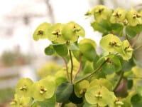 Braunrotblättrige Garten Wolfsmilch • Euphorbia polychroma Purpurea