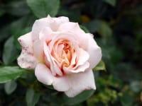 Rose Garden of Roses ® • Rosa Garden of Roses ®